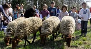 Saint-Prix : Le retour des moutons !
